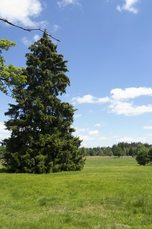 Spruce on the meadow on a sunny day