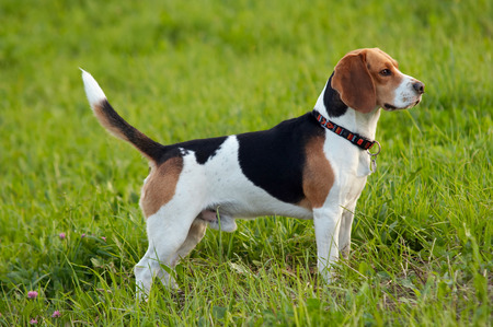 Image of the English Beagle on the meadow Foto de archivo