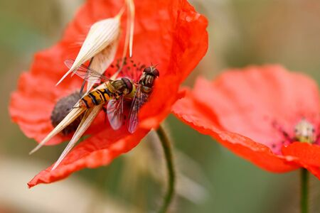 Detail of the Hoverflies on wolf poppy