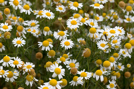 german chamomile: Meadow of German chamomile - medicinal herb