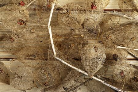 husk tomato: Detail of the dried fruits of Cape gooseberry