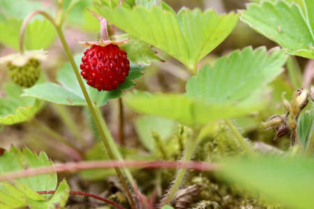 forest products: Detail of the forest products - wild strawberries Stock Photo