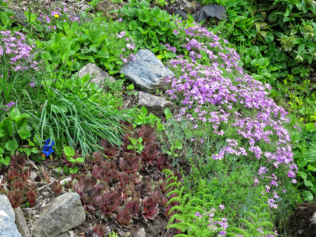Houseleek and other plants in the rockery