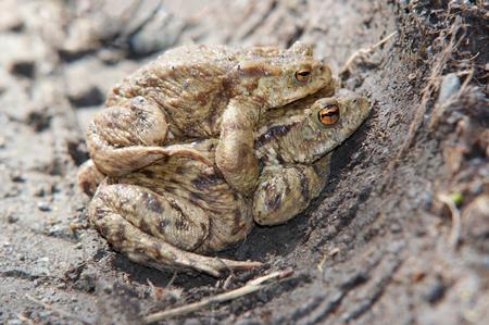 Detail of the mating toads