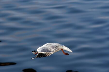 swoop: Swoop - image of the flying gull
