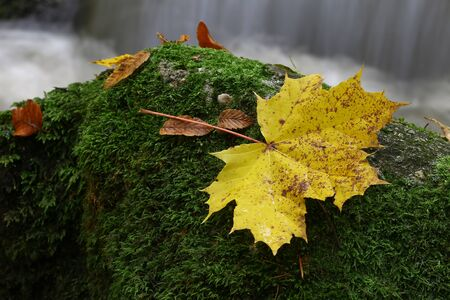 Maple leaf on boulder covered by moss