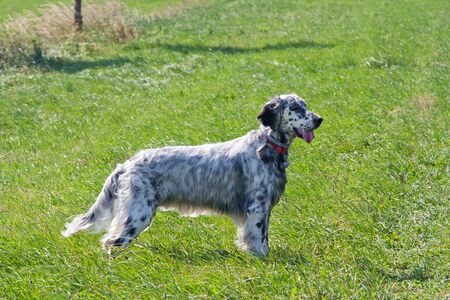 English Setter on the meadow - hound Stock Photo