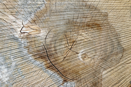 Texture of wood - cut tree trunk - annual rings