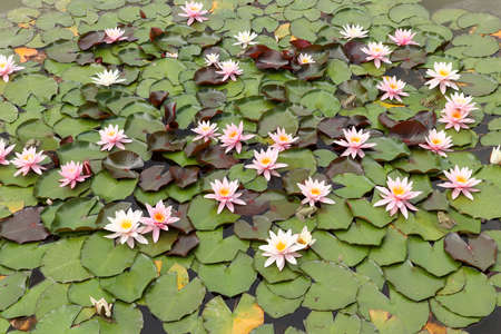 Frogs on the green leaves of blooming water lilies