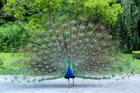 Peacock showing its long tail with beautiful feathers with eye-like markings 版權商用圖片