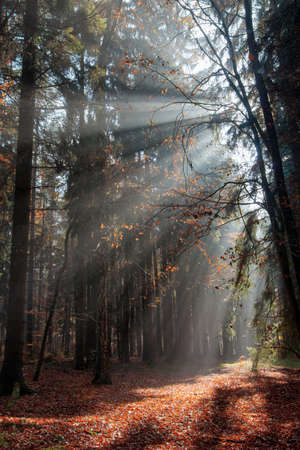 God beams - sun rays n the early morning forest. Voderady Beechwood - National Nature Reserve, Czech republic.