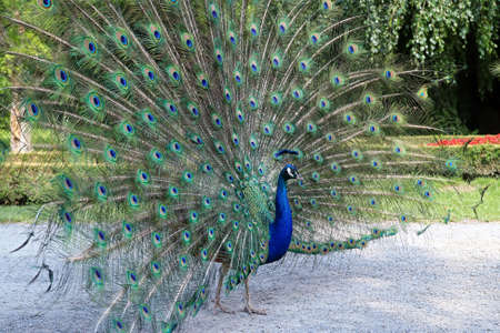 Proud peacock showing its long tail with beautiful feathers with eye-like markings 版權商用圖片