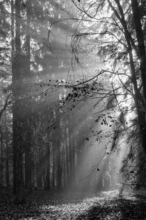 God beams - sun rays n the early morning forest in black and white Standard-Bild