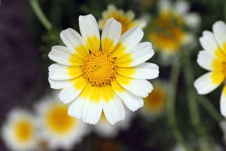 Garland chrysanthemum - an edible plant rich in minerals and vitamins Standard-Bild