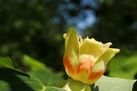 Tree in blossom - yellow poplar - detail of the bloom