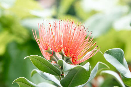 Bloom of the Persian silk tree - albizia julibrissin - detail Standard-Bild