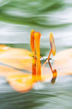 Detail of the bloom of lily on the water