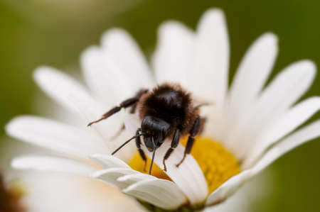 Bumblebee on a daisy Standard-Bild