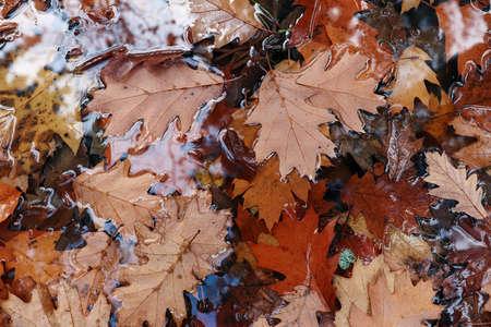 Fallen oak leaves float on the water