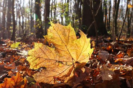 Fallen maple leaf in backlight in autumn forest