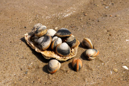 Common cockles - species of edible saltwater clams Standard-Bild