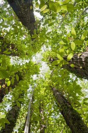 thick vegetation view from below upwards, rich in green leaves Stock Photo - 14844986