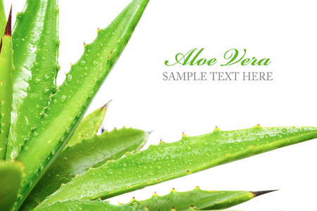 aloe vera plant isolated on white background 版權商用圖片 - 25869627