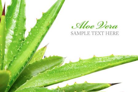 aloe vera plant isolated on white background