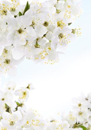 fleur de cerisier: Fleurs blanches