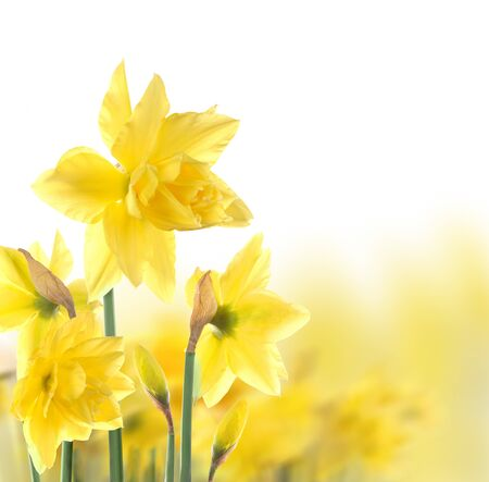 jonquil: daffodils  Stock Photo