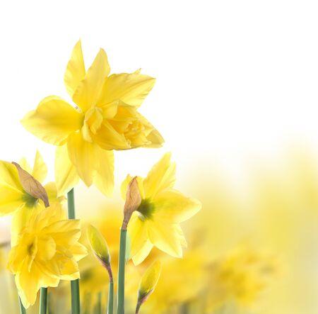 daffodil: daffodils  Stock Photo