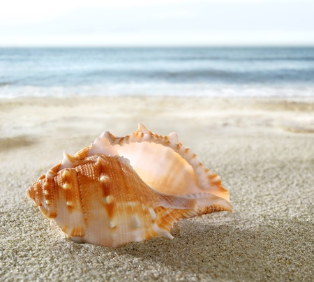 cockleshells: Shell on the sandy beach