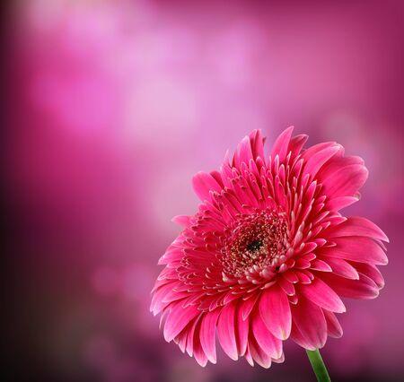 Pink flower. Gerber. photo