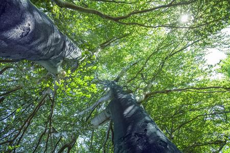 houtsoorten: Oude bomen