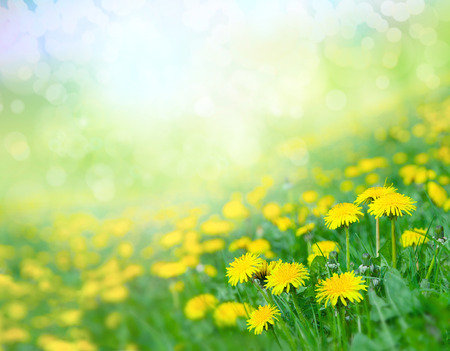 blue backgrounds: Field of dandelions. Stock Photo