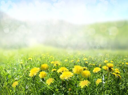 The field of dandelions. Nature background. Stock Photo