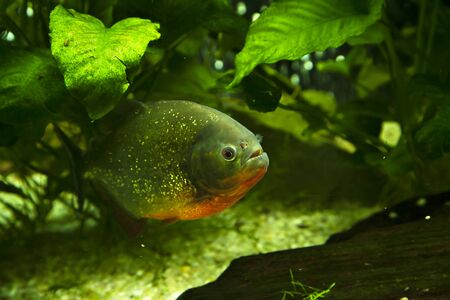 Hidden piranha in a natural environment. Underwater view with fish. Life in tropical waters. Zdjęcie Seryjne