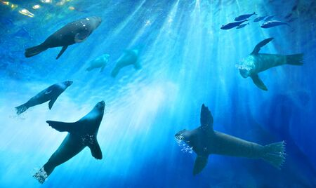 A herd of seals hunting for fish. Ocean underwater with marine animals. Sun rays passing through the water surface.