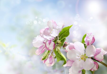 Beautiful blooming branch of apple tree. Strong morning sun. Closeup of a flowers. Spring in the garden. Nature background.