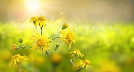 Wild meadow with yellow flowers in strong sunlight. Early morning. Nature background.