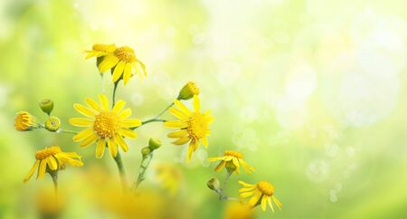 Wild meadow with yellow flowers in strong sunlight. Nature background. Early morning.