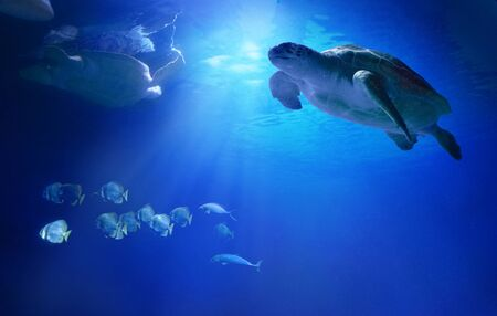 Large sea turtles swimming among fish. Animals of the underwater sea world. Life in a coral reef. Фото со стока