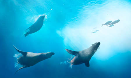 Seals hunting for fish. Ocean underwater with marine animals. Sun rays passing through the water surface. Фото со стока