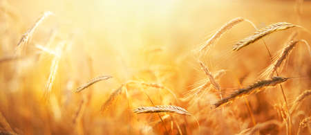 An agricultural field with wheat. Ripe ears of grain in strong sunlight early morning. Nature background. Summer landscape.