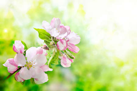 Spring in the garden. Beautiful blooming apple tree branch in the orchard. Strong morning sun. Closeup of flowers. Nature background.