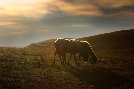 ovine: sunset sheep