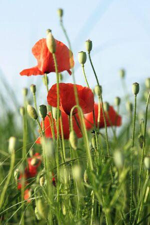 poppies in a green field photo
