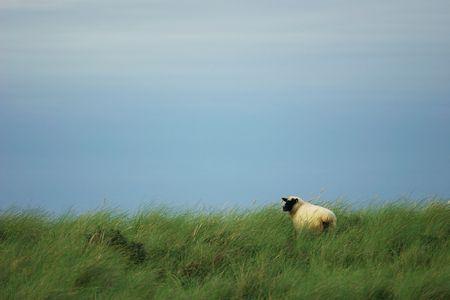 ovine: black sheep in the grass