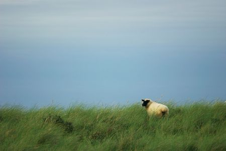 schwarze Schafe im Gras  Standard-Bild