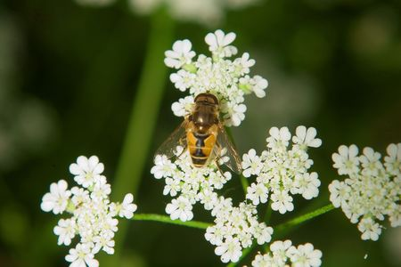 bee on white flower over green blurried background photo